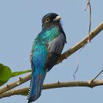 8285 Blue-crowned Trogon (Trogon curucui), Pantanal, Brazil