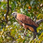 8286 Black-collard Hawk (Busarellus nignicollis), Pantanal, Brazil