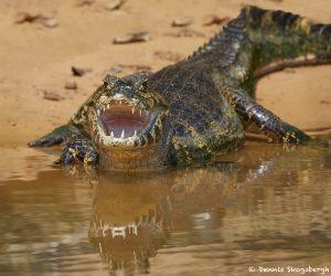 8287 Caiman, Pantanal, Brazil