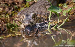 8288 Caiman, Pantanal, Brazil
