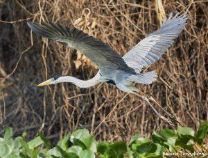 8289 Cocoi Heron (Ardea cocoi), Pantanal, Brazil