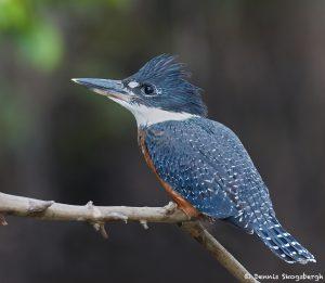 8290 Ringed Kingfisher (Megaceryle torquata), Pantanal, Brazil