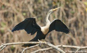 8291 Anhinga (Anhinga anhinga), Pantanal, Brazil