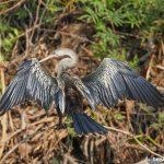 8292 Anhinga (Anhinga anhinga), Pantanal, Brazil