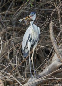 8293 Cocoi Heron (Ardea cocoi), Pantanal, Brazil