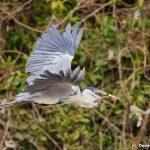8294 Cocoi Heron (Ardea cocoi), Pantanal, Brazil