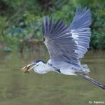 8295 Cocoi Heron (Ardea cocoi), Pantanal, Brazil