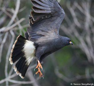 8297 Snail Kite (Rostrhamus sociabilis), Pantanal, Brazil