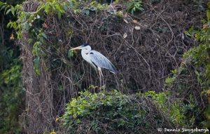 8298 Cocoi Heron (Ardea cocoi), Pantanal, Brazil