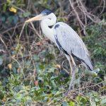 8299 Cocoi Heron (Ardea cocoi), Pantanal, Brazil