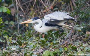 8300 Cocoi Heron (Ardea cocoi), Pantanal, Brazil