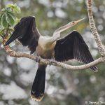 8301 Anhinga (Anhinga anhinga), Pantanal, Brazil