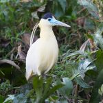 8305 Capped Heron (Pilherodius pileatus), Pantanal, Brazil