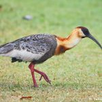 8306 Buff-necked Ibis (Theristicus caudatus), Pantanal, Brazil