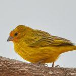 8310 Orange-fronted yellow finch (Sicalis columbiana), Pantanal, Brazil