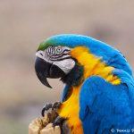 8313 Blue and Yellow Macaw (Ara ararauna), Pantanal, Brazil