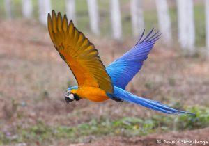 8314 Blue and Yellow Macaw (Ara ararauna), Pantanal, Brazil