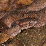 8862 Hog-nosed Viper (Porthidium nasutum), Laguna del Lagarto Lodge, Costa Rica