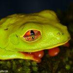 8863 Red-eyed Tree Frog (Agalychnis callidryas), Laguna del Lagarto, Costa Rica