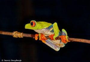 8849 Red-eyed Tree Frog (Agalychnis callidryas), Laguna del Lagarto, Costa Rica