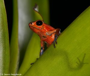 8851 Strawberry Poison Dart Frog (Oophaga pumilio), Laguna del Lagarto, Costa Rica
