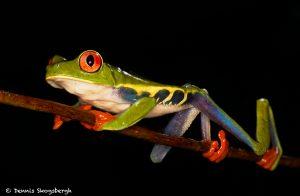 8864 Red-eyed Tree Frog (Agalychnis callidryas), Laguna del Lagarto, Costa Rica