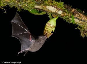 8853 Mexican Long-tounged Bat (Choeronycteris mexicana), Laguna del Lagarto, Costa Rica