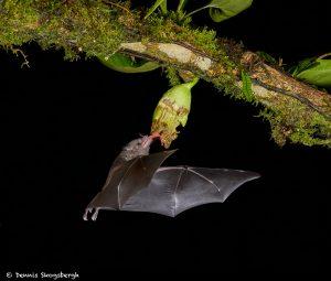 8854 Mexican Long-tounged Bat (Choeronycteris mexicana), Laguna del Lagarto, Costa Rica