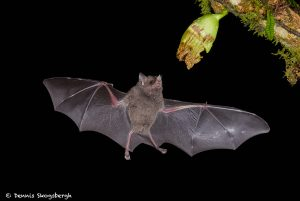 8855 Mexican Long-tounged Bat (Choeronycteris mexicana), Laguna del Lagarto, Costa Rica