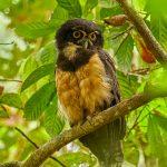 8859 Spectacled Owl (Pulsatrix perspicillata), Costa Rica