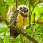 8858 Immature Spectacled Owl (Pulsatrix perspicillata), Costa Rica