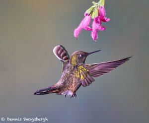 9124 Buff-tailed Coronet (Boissonneauna flacescens), Guango Lodge, Ecuador