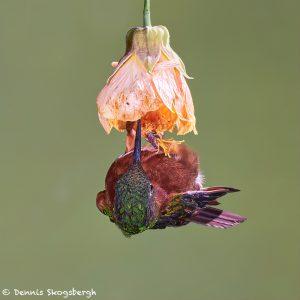 9122 Chestnut-breasted Coronet (Boissonneaua matthewsii), Guango Lodge, Ecuado