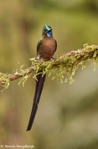 9136 Violet-tailed Sylph (Aglaiocercus coekestus), Tandayapa Bird Lodge, Ecuador
