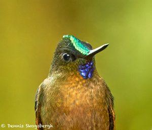 9137 Violet-tailed Sylph (Aglaiocercus coekestus), Tandayapa Bird Lodge, Ecuador