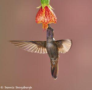 9138 Brown Inca (Coeligena wilsoni), Tandayapa Bird Lodge, Ecuador