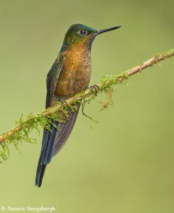 9141 Violet-tailed Sylph (Aglaiocercus coekestus), Tandayapa Bird Lodge, Ecuador