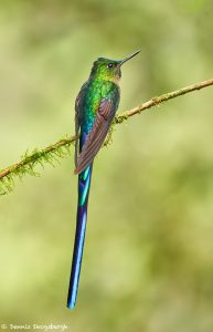 9142 Violet-tailed Sylph (Aglaiocercus coekestus), Tandayapa Bird Lodge, Ecuador