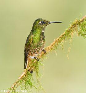 9143 Buff-tailed Coronet (Boissonneauna flacescens), Tandayapa Bird Lodge, Ecuador