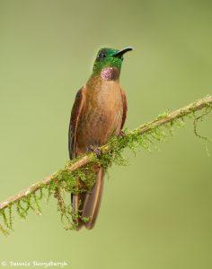 9144 Fawn-breasted Brilliant (Heliodoxa rubinoides), Tandayapa Bird Lodge, Ecuador
