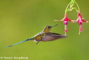 9146 Violet-tailed Sylph (Aglaiocercus coekestus), Tandayapa Bird Lodge, Ecuador