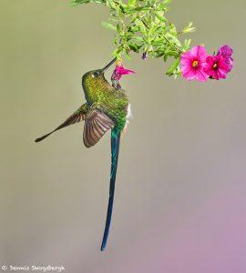 9151 Violet-tailed Sylph (Aglaiocercus coekestus), Tandayapa Bird Lodge, Ecuador