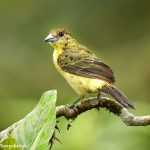 9153 Female Lemon-rumped Tanager (Ranphocelus flammigerus icteronotus), Ecuador