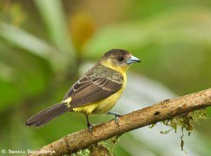 9157 Female Lemon-rumped Tanager (Ranphocelus flammigerus icteronotus), Ecuador