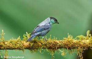 9161 Black-capped Tanager (Tangara heinei), Ecuador