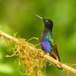 9167 Velvet-purple Coronet (Boissonneaua jardini), Ecuador