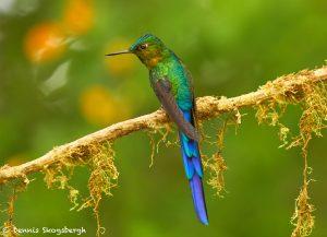 9168 Violet-tailed Sylph (Aglaiocercus coekestus), Ecuador