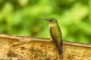 9170 Buff-tailed Coronet (Boissonneauna flacescens), Ecuador