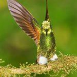 9172 Buff-tailed Coronet (Boissonneauna flacescens), Ecuador