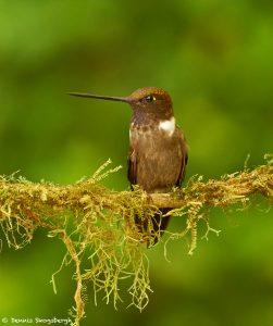 9171 Brown Inca (Coeligena wilsoni), Ecuador